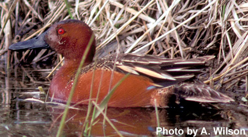 Cinnamon Teal Male And Female