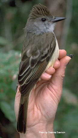 White-fronted Chat - Epthianura albifrons - Birds of the World
