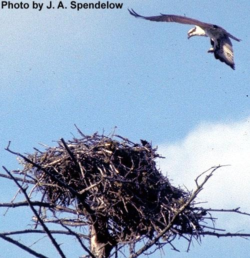 Osprey & nest