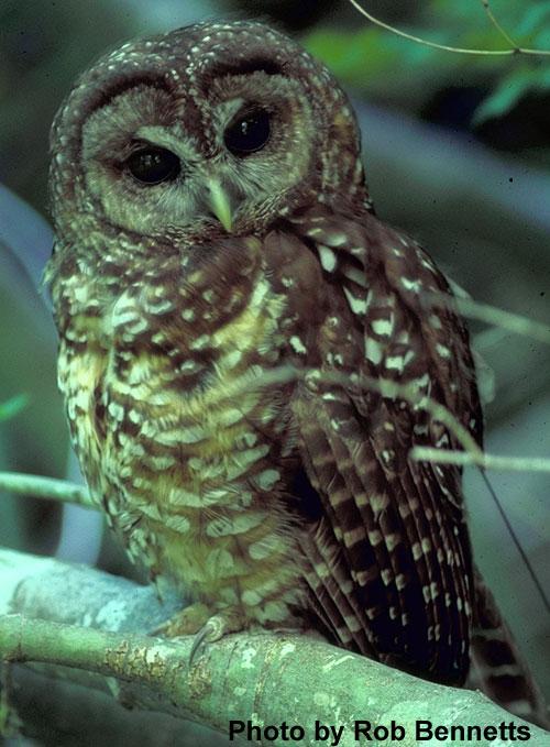Owl Thesis