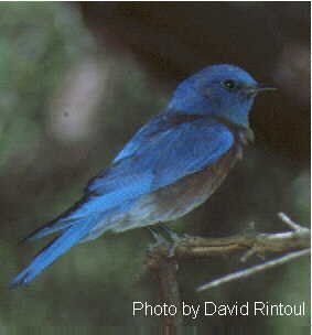 Western Bluebird, from USGS site
